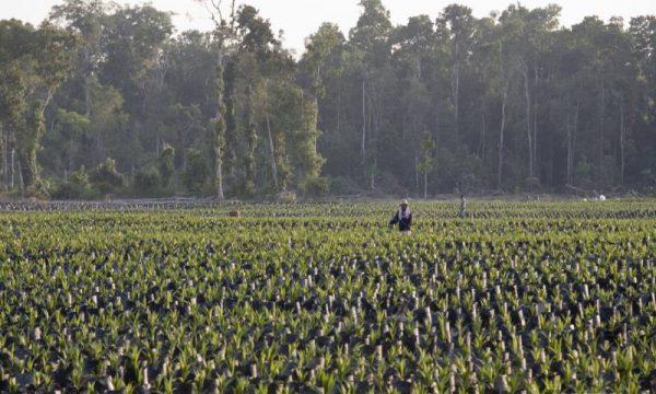 Compagnie dell'agroindustria indonesiana devono ancora pagare i danni degli incendi
