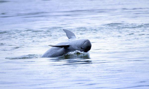 Cresciuta per la prima volta la popolazione dei delfini Irrawaddy nel fiume Mekong