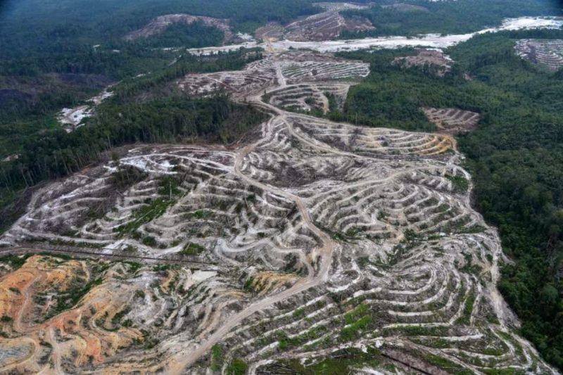 Calimantano Occidentale, dove l'olio di palma domina sovrano
