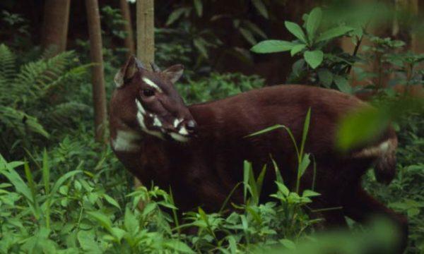 La scoperta in Vietnam del Saola, l'unicorno asiatico, ritenuto scomparso